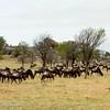 "<a target=""NEWWIN"" href=""http://en.wikipedia.org/wiki/Blue_Wildebeest"">Blue Wildebeest (<i>Connochaetes taurinus</i>)</a>, <a target=""NEWWIN"" href=""http://en.wikipedia.org/wiki/Serengeti"">Serengeti</a>, Tanzania"