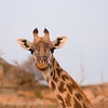 """<a target=""""NEWWIN"""" href=""""http://en.wikipedia.org/wiki/Giraffe"""">Giraffe (<i>Giraffa camelopardalis</i>)</a>, <a target=""""NEWWIN"""" href=""""http://en.wikipedia.org/wiki/Serengeti"""">Serengeti</a>, Tanzania"""