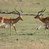 "Male <a target=""NEWWIN"" href=""http://en.wikipedia.org/wiki/Impala"">Impala (<i>Aepyceros melampus</i>)</a> taunting another, <a target=""NEWWIN"" href=""http://en.wikipedia.org/wiki/Serengeti"">Serengeti</a>, Tanzania"