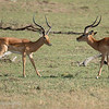 "Male <a target=""NEWWIN"" href=""http://en.wikipedia.org/wiki/Impala"">Impala (<i>Aepyceros melampus</i>)</a> taunting another, <a target=""NEWWIN"" href=""http://en.wikipedia.org/wiki/Serengeti"">Serengeti</a>, Tanzania"