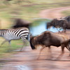 "<a target=""NEWWIN"" href=""http://en.wikipedia.org/wiki/Plains_Zebra"">Common Zebra (<i>Equus quagga</i>)</a> and <a target=""NEWWIN"" href=""http://en.wikipedia.org/wiki/Blue_Wildebeest"">Blue Wildebeests (<i>Connochaetes taurinus</i>)</a> in motion, <a target=""NEWWIN"" href=""http://en.wikipedia.org/wiki/Serengeti"">Serengeti</a>, Tanzania"