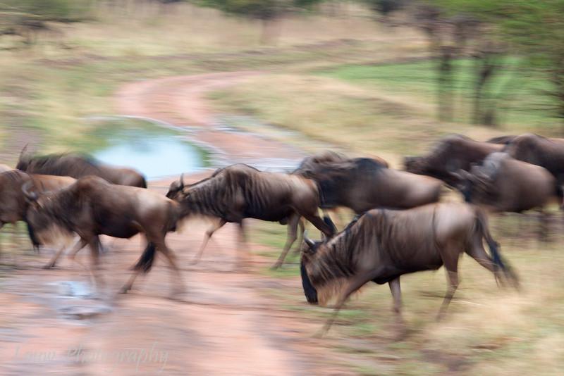 """<a target=""""NEWWIN"""" href=""""http://en.wikipedia.org/wiki/Blue_Wildebeest"""">Blue Wildebeests (<i>Connochaetes taurinus</i>)</a> in motion, <a target=""""NEWWIN"""" href=""""http://en.wikipedia.org/wiki/Serengeti"""">Serengeti</a>, Tanzania"""