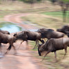 "<a target=""NEWWIN"" href=""http://en.wikipedia.org/wiki/Blue_Wildebeest"">Blue Wildebeests (<i>Connochaetes taurinus</i>)</a> in motion, <a target=""NEWWIN"" href=""http://en.wikipedia.org/wiki/Serengeti"">Serengeti</a>, Tanzania"