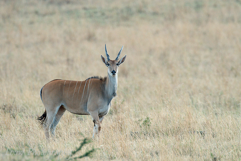 "Female <a target=""NEWWIN"" href=""http://en.wikipedia.org/wiki/Common_Eland"">Eland (<i>Taurotragus oryx</i>)</a>, <a target=""NEWWIN"" href=""http://en.wikipedia.org/wiki/Serengeti"">Serengeti</a>, Tanzania"