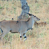 "Female <a target=""NEWWIN"" href=""http://en.wikipedia.org/wiki/Common_Eland"">Eland (<i>Taurotragus oryx</i>)</a> with off-balance oxpecker, <a target=""NEWWIN"" href=""http://en.wikipedia.org/wiki/Serengeti"">Serengeti</a>, Tanzania"