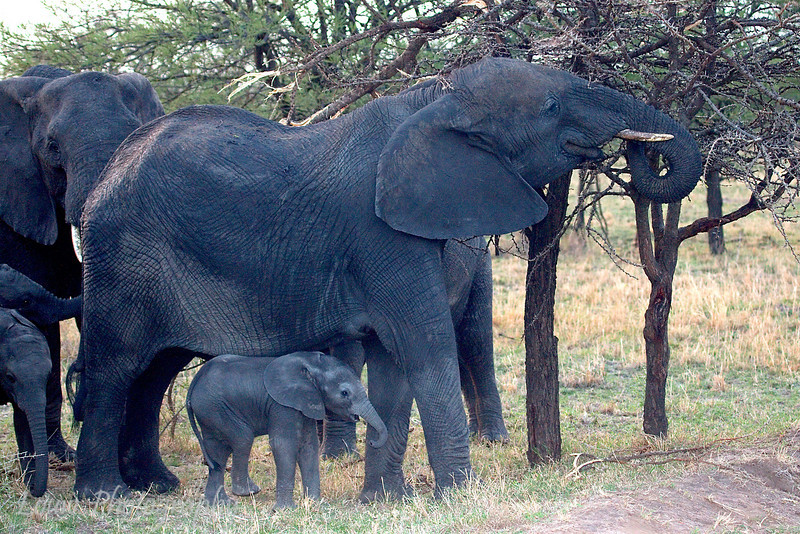 """Mother and Baby <a target=""""NEWWIN"""" href=""""http://en.wikipedia.org/wiki/African_Bush_Elephant"""">African Bush Elephants (<i>Loxodonta africana</i>)</a>, <a target=""""NEWWIN"""" href=""""http://en.wikipedia.org/wiki/Serengeti"""">Serengeti</a>, Tanzania"""
