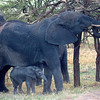 "Mother and Baby <a target=""NEWWIN"" href=""http://en.wikipedia.org/wiki/African_Bush_Elephant"">African Bush Elephants (<i>Loxodonta africana</i>)</a>, <a target=""NEWWIN"" href=""http://en.wikipedia.org/wiki/Serengeti"">Serengeti</a>, Tanzania"