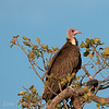 "<a target=""NEWWIN"" href=""http://en.wikipedia.org/wiki/Hooded_Vulture"">Hooded Vulture (<i>Necrosyrtes monachus</i>)</a>, <a target=""NEWWIN"" href=""http://en.wikipedia.org/wiki/Serengeti"">Serengeti</a>, Tanzania"
