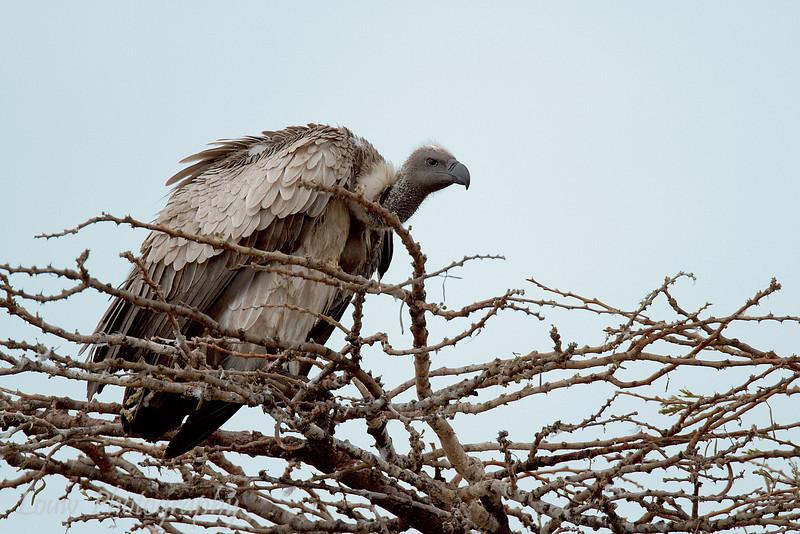 "<a target=""NEWWIN"" href=""http://en.wikipedia.org/wiki/White-backed_Vulture"">White-backed Vulture (<i>Gyps africanus</i>)</a>, <a target=""NEWWIN"" href=""http://en.wikipedia.org/wiki/Serengeti"">Serengeti</a>, Tanzania"
