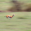 "Female <a target=""NEWWIN"" href=""http://en.wikipedia.org/wiki/Thomson%27s_Gazelle"">Thomsons Gazelle (<i>Eudorcas thomsoni</i>)</a> running, <a target=""NEWWIN"" href=""http://en.wikipedia.org/wiki/Serengeti"">Serengeti</a>, Tanzania"