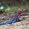 "<a target=""NEWWIN"" href=""http://en.wikipedia.org/wiki/Agama_agama"">Agama Lizard (<i>Agama agama</i>)</a>, <a target=""NEWWIN"" href=""http://en.wikipedia.org/wiki/Serengeti"">Serengeti</a>, Tanzania"