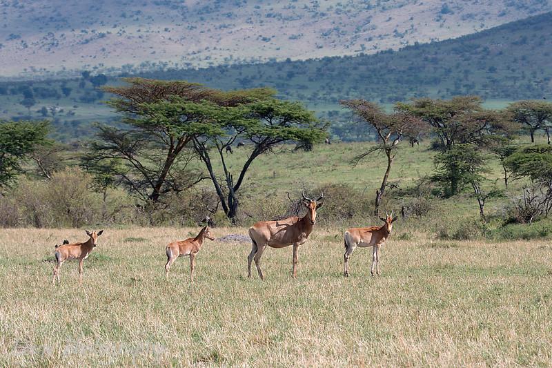 "<a target=""NEWWIN"" href=""http://en.wikipedia.org/wiki/Topi"">Topis (<i>Damaliscus lunatus</i>)</a>, <a target=""NEWWIN"" href=""http://en.wikipedia.org/wiki/Serengeti"">Serengeti</a>, Tanzania"