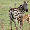 Mother and Baby Common Zebra (Equus quagga), Serengeti, Tanzania
