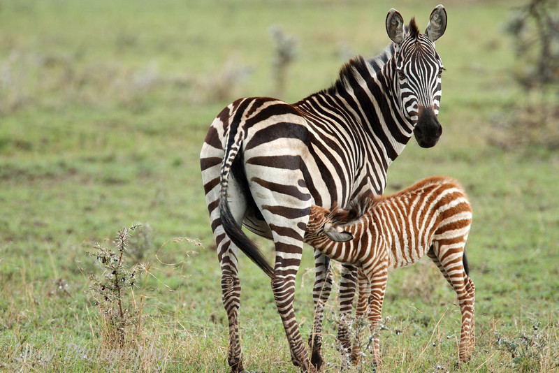 "Mother and Baby <a target=""NEWWIN"" href=""http://en.wikipedia.org/wiki/Plains_Zebra"">Common Zebra (<i>Equus quagga</i>)</a>, <a target=""NEWWIN"" href=""http://en.wikipedia.org/wiki/Serengeti"">Serengeti</a>, Tanzania"