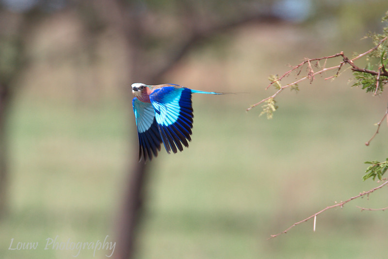 "<a target=""NEWWIN"" href=""http://en.wikipedia.org/wiki/Lilac-breasted_Roller"">Lilac-breasted Roller (<i>Coracias caudatus</i>)</a> in flight, <a target=""NEWWIN"" href=""http://en.wikipedia.org/wiki/Serengeti"">Serengeti</a>, Tanzania"