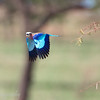 "<a target=""NEWWIN"" href=""http://en.wikipedia.org/wiki/Lilac-breasted_Roller"">Lilac-breasted Roller (<i>Coracias caudatus</i>)</a> in flight, <a target=""NEWWIN"" href=""http://en.wikipedia.org/wiki/Serengeti"">Serengeti</a>, Tanzania"