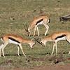 "Male <a target=""NEWWIN"" href=""http://en.wikipedia.org/wiki/Thomson%27s_Gazelle"">Thomsons Gazelles (<i>Eudorcas thomsoni</i>)</a> fighting, <a target=""NEWWIN"" href=""http://en.wikipedia.org/wiki/Serengeti"">Serengeti</a>, Tanzania"