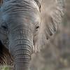 "Baby <a target=""NEWWIN"" href=""http://en.wikipedia.org/wiki/African_Bush_Elephant"">African Bush Elephant (<i>Loxodonta africana</i>)</a>, <a target=""NEWWIN"" href=""http://en.wikipedia.org/wiki/Serengeti"">Serengeti</a>, Tanzania"