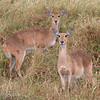 Two female Bohor Reedbucks (Redunca redunca), Serengeti, Tanzania