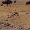 Thompson's gazelle by Mary Fields