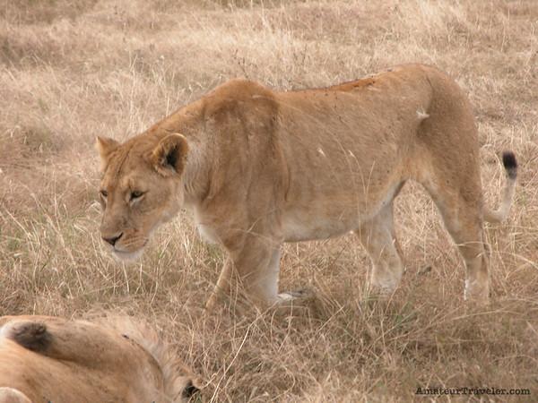 Lion - Ngorogoro Crater - Tanzania