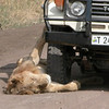 Lion in Ngorogoro Crater