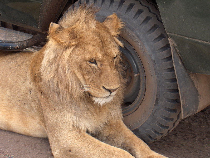 Lion in Ngorogoro Crater by Mary Fields