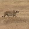 Cheetah in Ngorogoro Crater