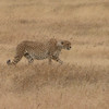 Cheetah in Ngorogoro Crater