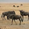 wildebeests by Lois Brouillette