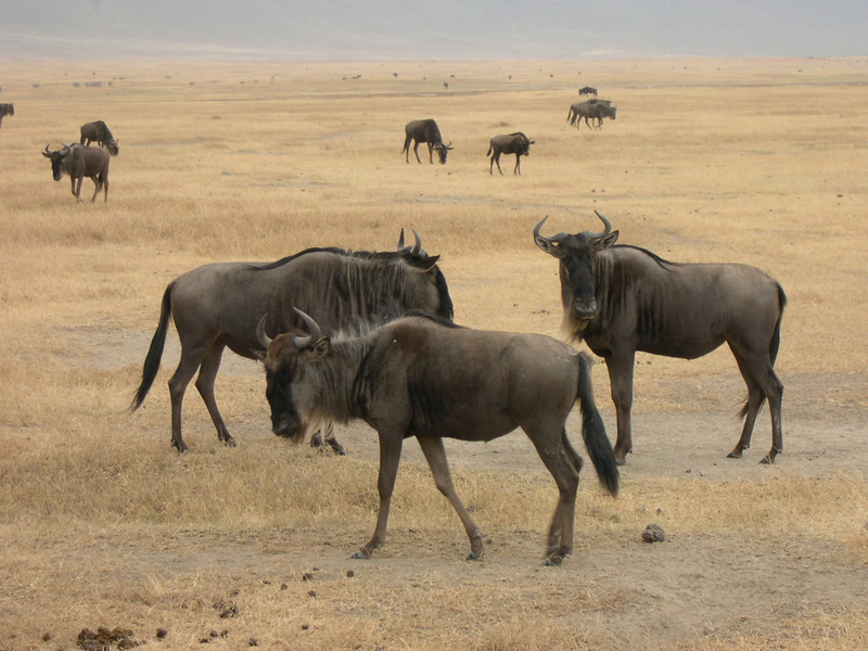 wildebeests by Lois Brouillette