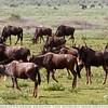 The Observant Wildebeest