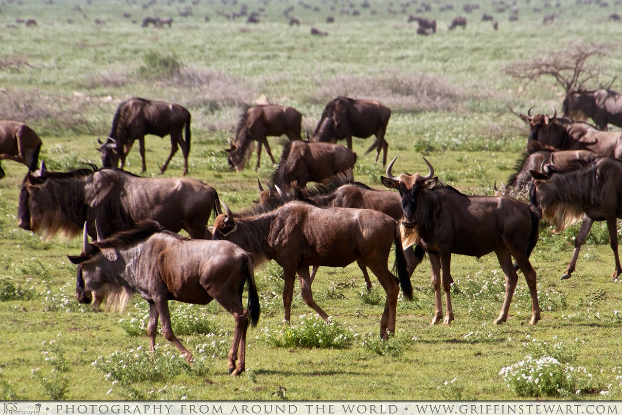 The Observant Wildebeest