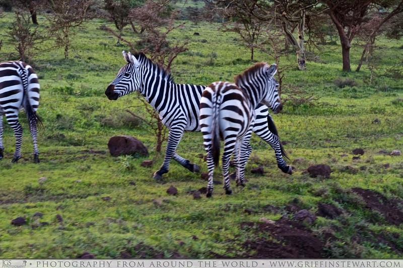 The Running Zebra