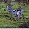 The Running Zebra
