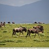 Wildebeest On The Horizon