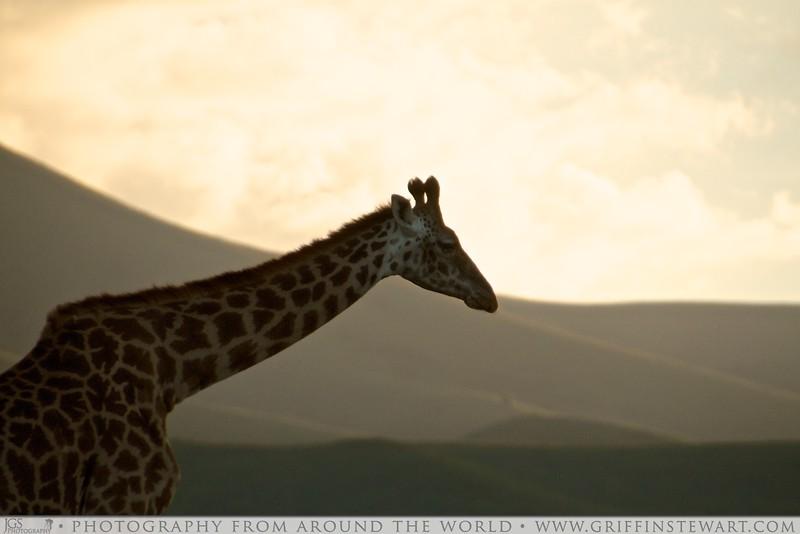Maasai Giraffe At Sunset