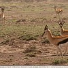 The Two Curios Gazelles