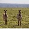 The Curious Zebras