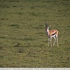 The Lonely Thompson Gazelle
