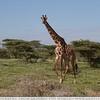 The Running Giraffe
