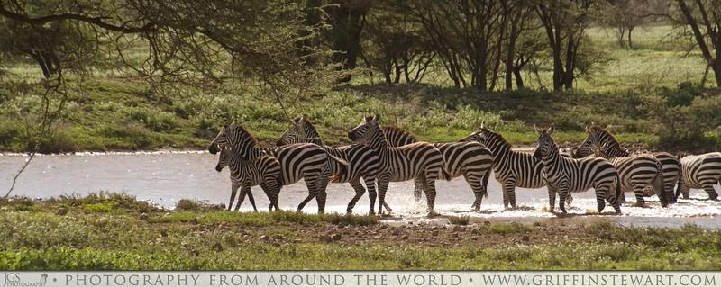 Afternoon Zebra Swim