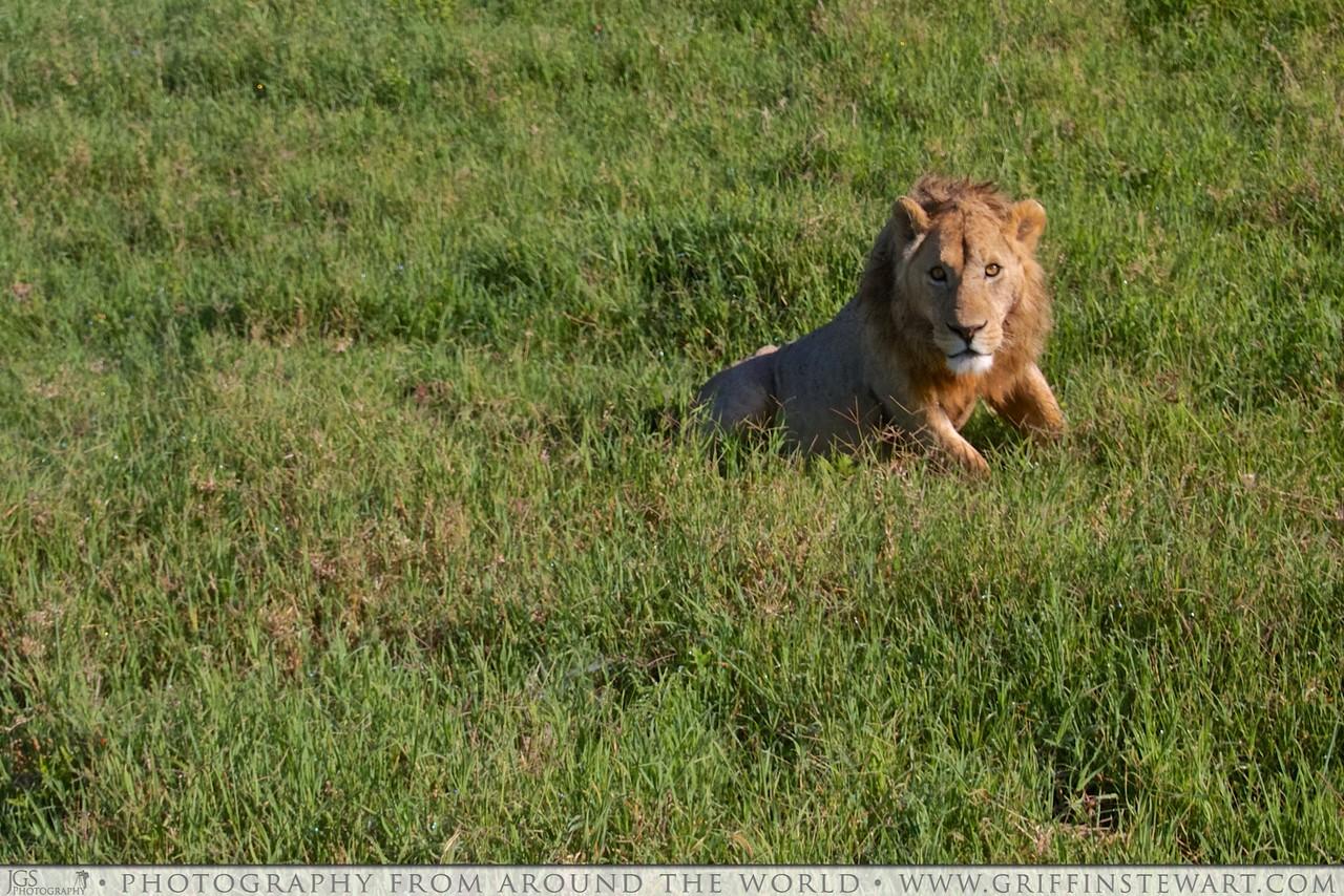 The Astute Lion