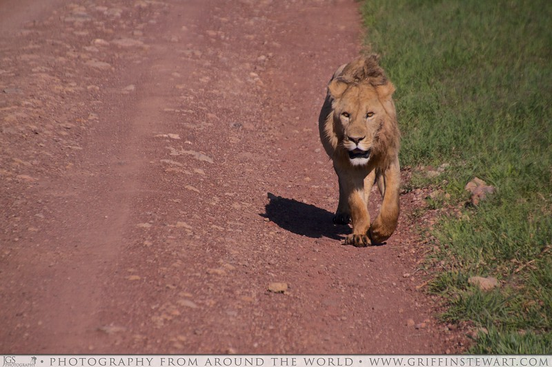Lion On The Road