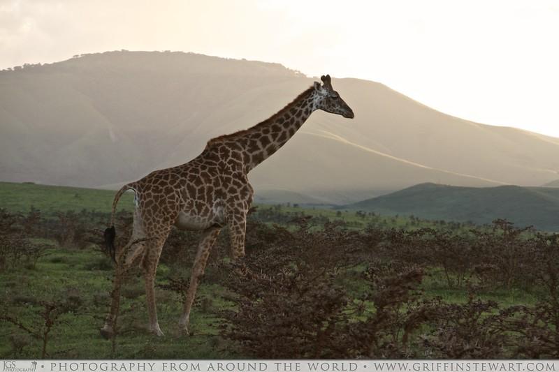 Maasai Giraffe At Sunset 2