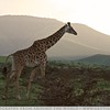 Maasai Giraffe At Sunset 2