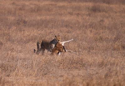 Cheetah with her kill.  Looks like a Thompson Gazelle.