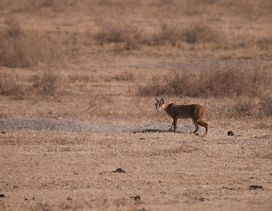 Caracal cat.  This was the first and only Caracal that our driver had seen in 20 years.