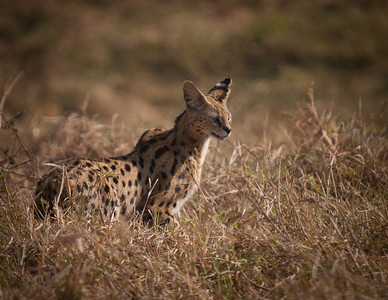 Serval cat.  One of East Africa's most beautiful cats.