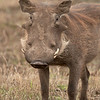 "<a target=""NEWWIN"" href=""http://en.wikipedia.org/wiki/Warthog"">Desert Warthog (<i>Phacochoerus aethiopicus</i>)</a>, <a target=""NEWWIN"" href=""http://en.wikipedia.org/wiki/Ngorongoro"">Ngorongoro Crater</a>, Tanzania"